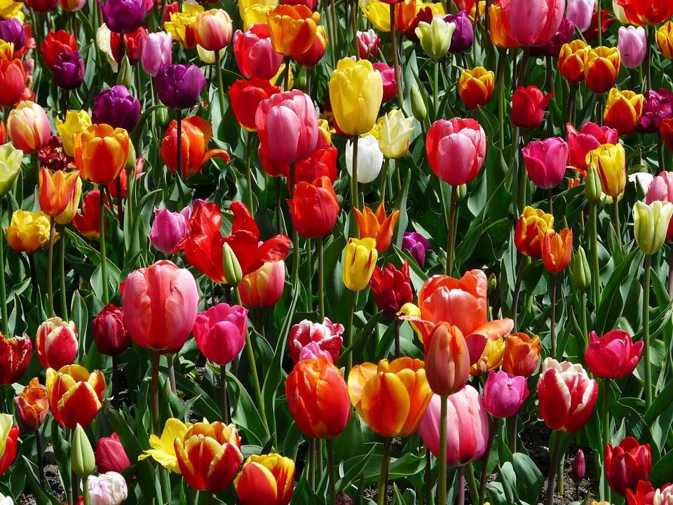 flori lalele ziua indragostitilor buchete florarie